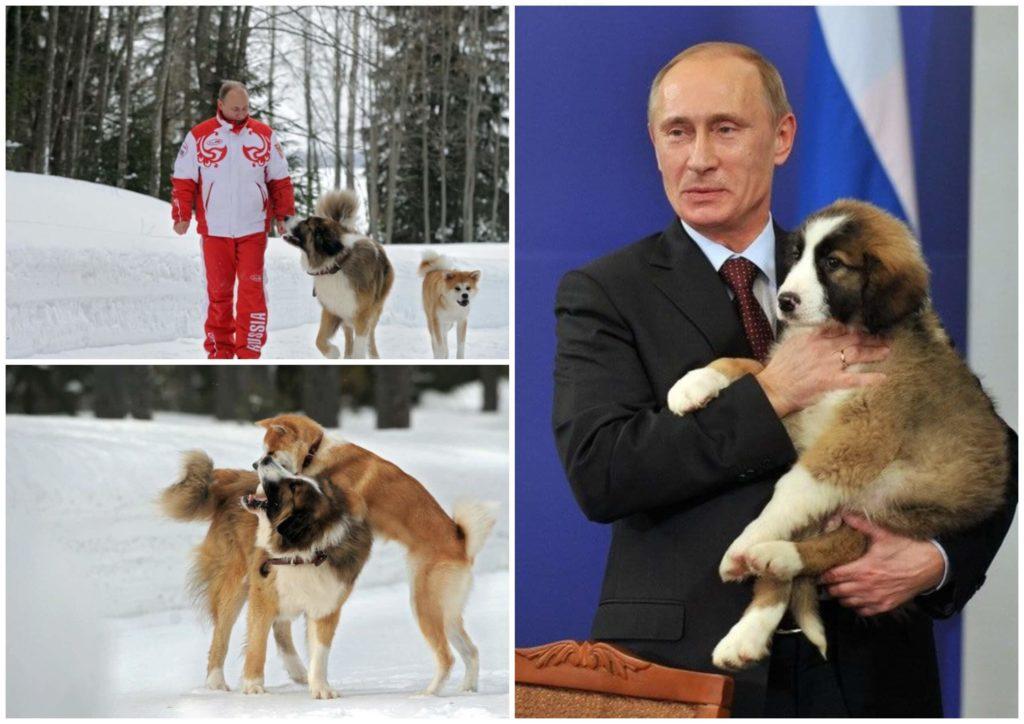 На фото изображен Владимир Путин с собаками.