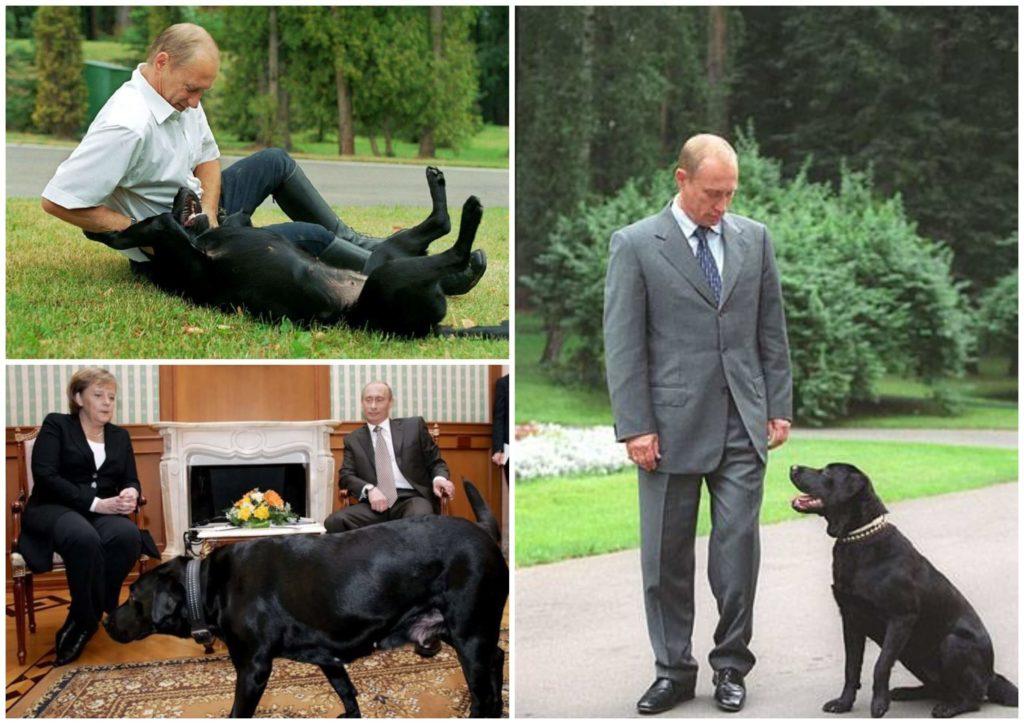 На фото изображен Владимир Путин с лабрадором Конни.